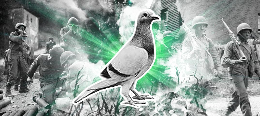 William of Orange Pigeon