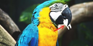A parrot pulling a tooth