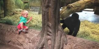 kid plays hide and seek with gorilla