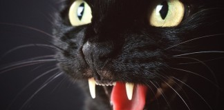 meowing cat