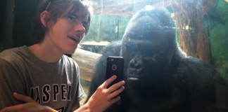 gorilla looks at phone