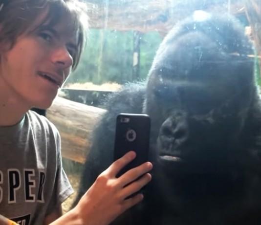 gorilla looks at phone